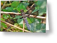Common Whitetail Dragonfly - Plathemis Lydia - Male Greeting Card