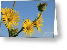 Compass Plant Greeting Card