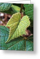 Concord Grape Plant Greeting Card by Science Source