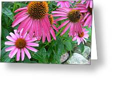 Cone Flowers In Bloom Greeting Card