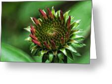 Coneflower Close-up Greeting Card