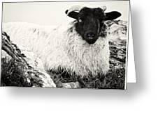 Connemara Sheep Greeting Card