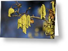 Contorted Hazel Catkins Greeting Card