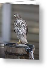 Cooper's Hawk - Immature - 0002 Greeting Card