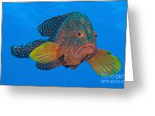 Coral Grouper, Kimbe Bay, Papua New Greeting Card