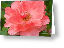Coral Rose Portrait Greeting Card