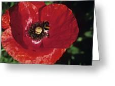 Corn Poppy Flower Greeting Card