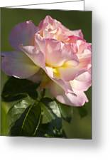 Cotton Candy Pink Peace Rose Greeting Card