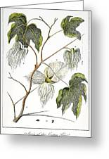 Cotton Plant, 1796 Greeting Card