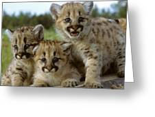 Cougar Cubs On A Rock Greeting Card