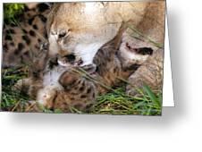 Cougar Mother Licks Kitten Greeting Card