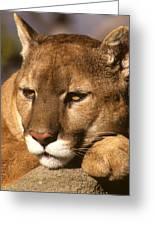 Cougar Relaxing. . . Greeting Card