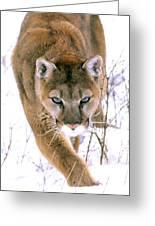 Cougar Stalks Through Snow Greeting Card