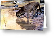 Cougar Stops For A Drink Greeting Card