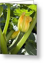 Courgette (cucurbita Pepo) Greeting Card
