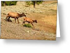 Cow And Calf Elk Greeting Card