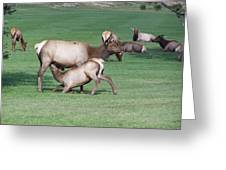 Cow Elk Feeding Calf Greeting Card