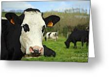 Cow Facing Camera Greeting Card