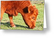 Cow Grazing In The Field . 7d9931 Greeting Card