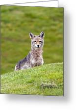 Coyote Behind The Hill Greeting Card