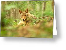 Coyote Caught Napping Greeting Card