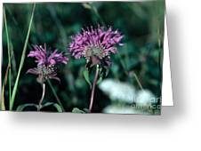 Coyote Mint Greeting Card