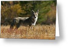 Coyote On A Fall Meadow Greeting Card