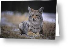 Coyote Resting In Winter Grass, Snowing Greeting Card