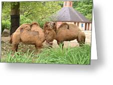 Cozy Camels - Cleveland Metro Zoo 1 Greeting Card