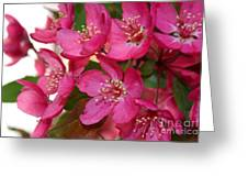 Crapapple Blossoms Greeting Card