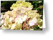 Cream Pink Hydrangea Flowers Art Prints Floral Greeting Card