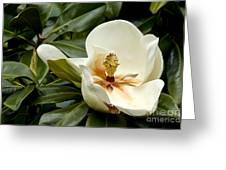 Creamy Magnolia Greeting Card