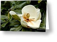 Creamy Magnolia Greeting Card