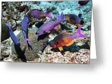 Creole Wrasse At A Cleaning Station Greeting Card