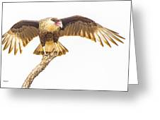 Crested Caracara Taking Off Greeting Card