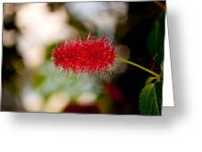 Crimson Bottle Brush Greeting Card