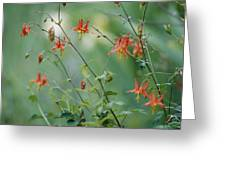 Crimson Columbines Aquilegia Formosa Greeting Card
