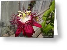 Crimson Passion Flower Greeting Card