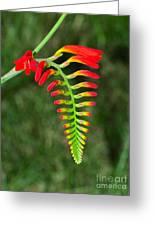 Crocosmia - Lucifer Plant Greeting Card