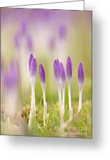 Crocus Flowers (crocus Tommasinianus) Greeting Card