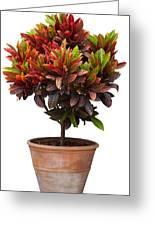 Croton Tree In Flowerpot Greeting Card