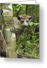 Crowned Lemur Eulemur Coronatus Female Greeting Card