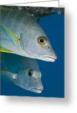 Cubera Snappers Greeting Card