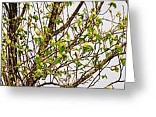 Cucumber Tree Blossoms Greeting Card