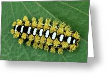 Cup Moth Limacodidae Caterpillar On Leaf Greeting Card