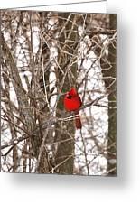 Curious Cardinal Greeting Card