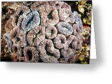 Curler Coral Greeting Card