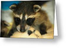 Cute Face Behind The Mask Baby Raccoon Greeting Card