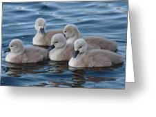 Cygnets At Menlo Pier Greeting Card by Peter Skelton
