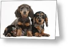 Dachshund And Merle Dachshund Pups Greeting Card